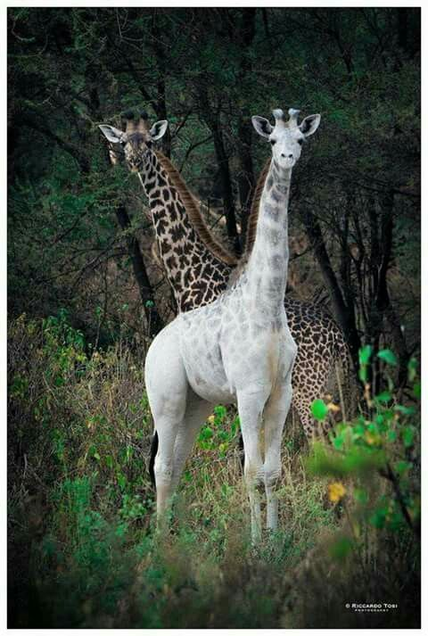 Did you see the Rare Giraffe in Tanzania?