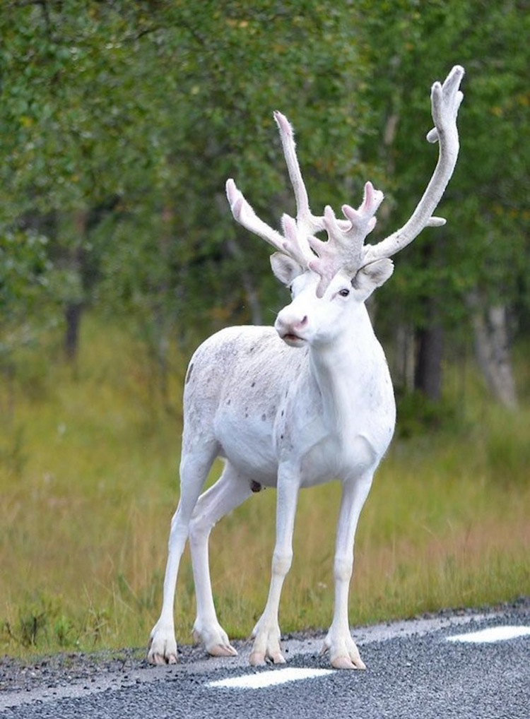 Rare white reindeer spotted