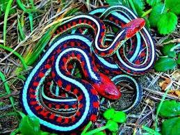 No Snakes inIreland!