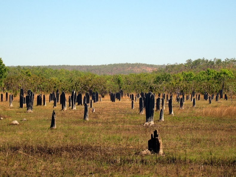 Magnetic Termites of Australia